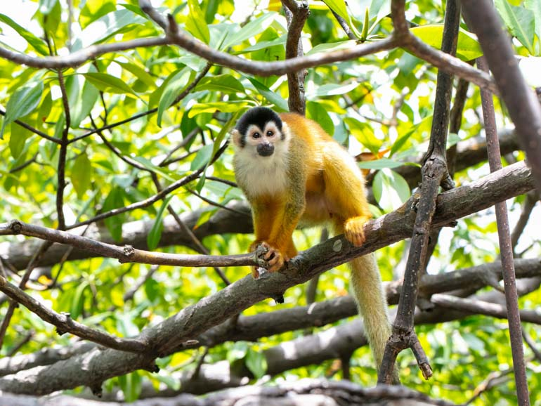 A male squirrel monkey sitting in the branch of a red mangrove tree, green lush all around him