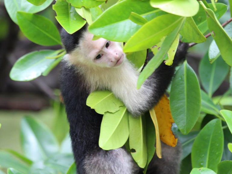 A juvenile male capuchin monkey holding tightly to one of the branches of a mangrove tree while looking down